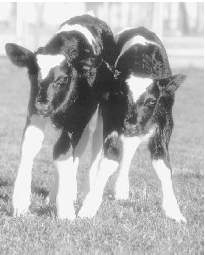 When Huxley wrote Brave New World, foreshadowing a future characterized by sterility and an absence of individuality, he could not possibly have known about these newborn transgenic cows,
