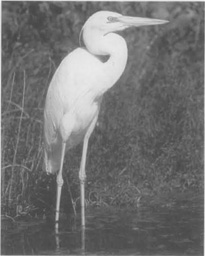 A great white heron in a Florida swamp.